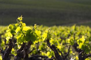 vines_in_a_vineyard